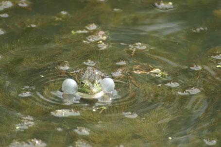 comment pecher grenouille verte