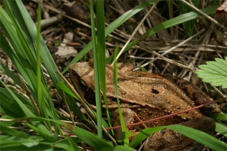 Photographie de la grenouille rousse - © Michel Fautsch