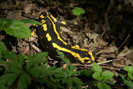 Photographie de la salamandre - © Michel Fautsch