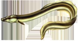 Dessin de l'anguille européenne