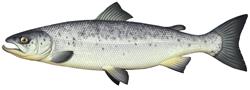 Dessin du saumon atlantique