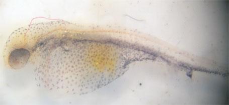 Identification des larves juste après l'éclosion