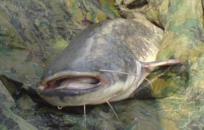 Slure pêché à la Fête de la pêche en 2008 à Flémalle
