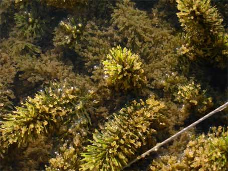 Oeufs de gardons relevé sur une frayère flottante sur le lac de l'Eau d'Heure