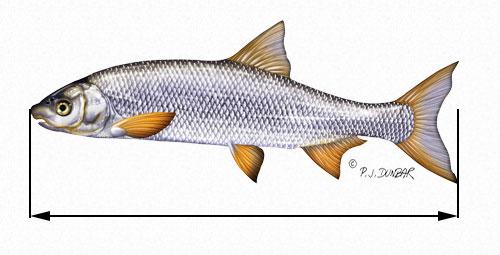 Mesure de la taille d'un poisson