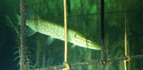 Photo subaquatique d'une cage refuge immergée dans laquelle se tient un brochet.