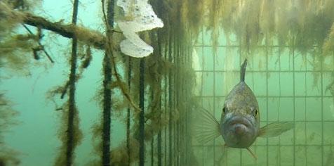 Photo subaquatique d'une cage refuge immergée dans laquelle se tient un perche.