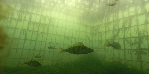 Photo subaquatique d'une cage refuge immergée dans laquelle se tient un banc de perches.