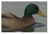 Photographie d'un canard colvert - M. Fautsch
