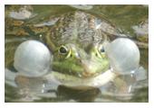 Photographie de grenouille rieuse réalisée par M. Fautsch