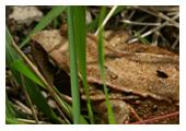 Photographie de grenouille rousse - M. Fautsch