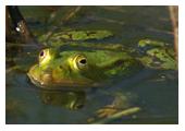 Photographie de grenouille verte - M. Fautsch