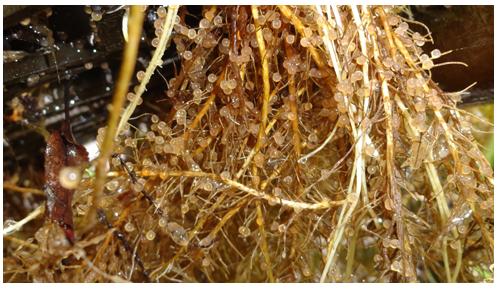 Ponte de carassin sur des racines d'Iris jaune