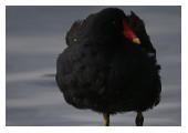 Photographie d'une poule d'eau - M. Fautsch