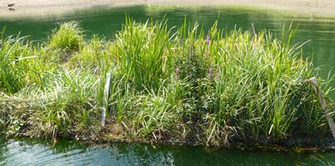 Radeaux végétalisés installés sur le lac de la Plate Taille