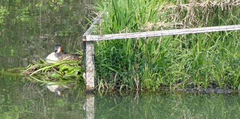 Un couple de grèbes huppés a accroché son nid flottant au radeau