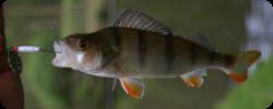 Capture d'une perche à l'occasion de la formation de formateur de pêche à LLN en 2008